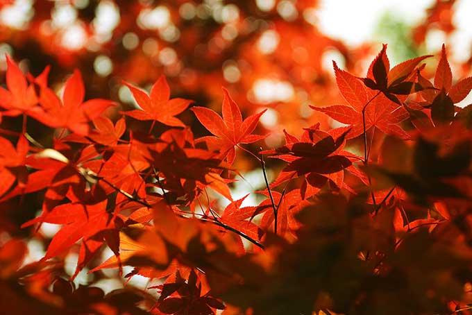 紅葉する秋の木(紅葉 赤のフリー画像)