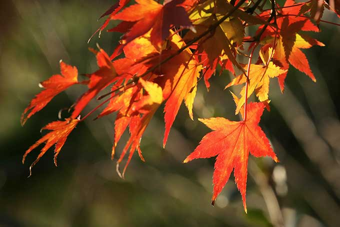 紅葉する秋の木