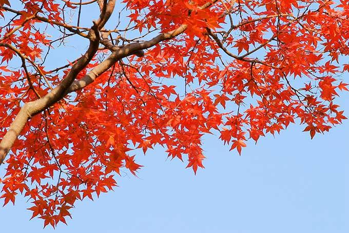 紅葉・黄葉・青葉(紅葉 空のフリー画像)