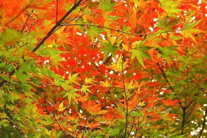 紅葉・黄葉・青葉(紅葉 綺麗のフリー画像)