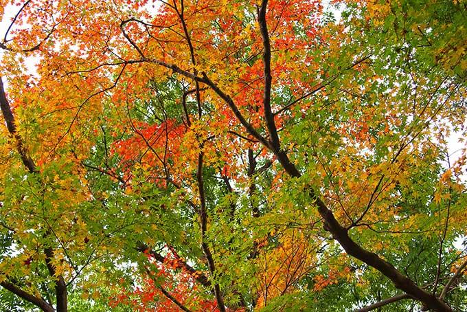 初秋のモミジ(紅葉 綺麗のフリー画像)