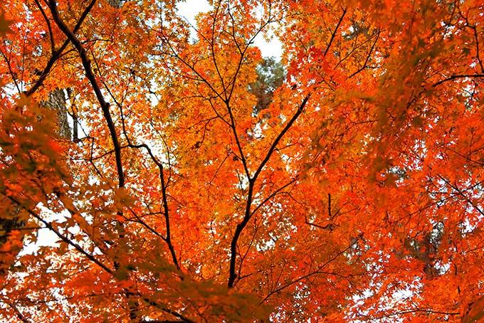 初秋のモミジ(紅葉 背景のフリー画像)
