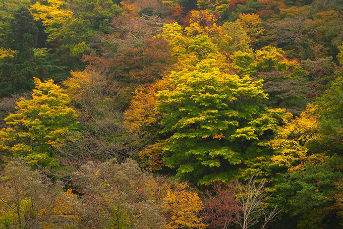 紅葉する森と山(紅葉 景色のフリー画像)