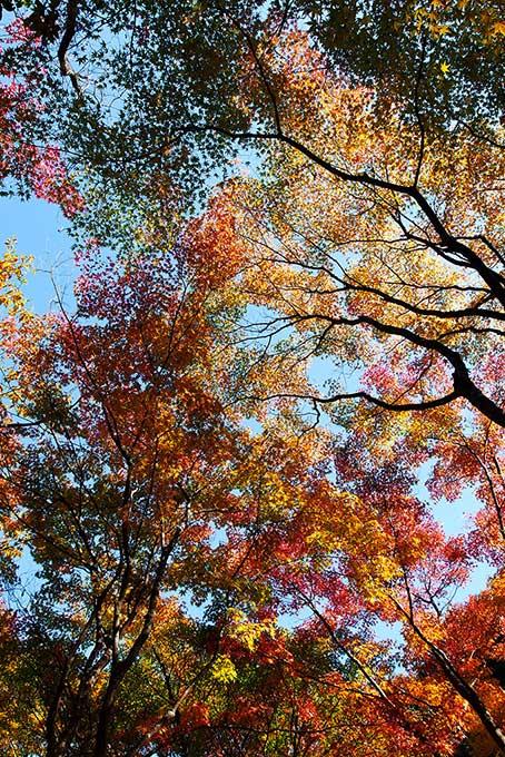 紅葉する木と林(紅葉 葉のフリー画像)