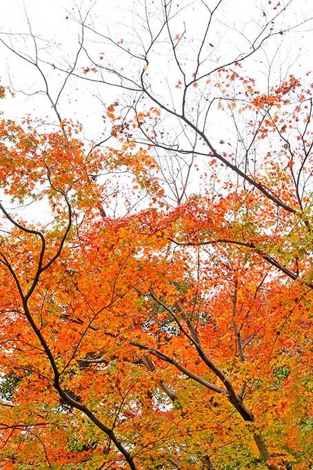紅葉する木と林(紅葉 秋のフリー画像)