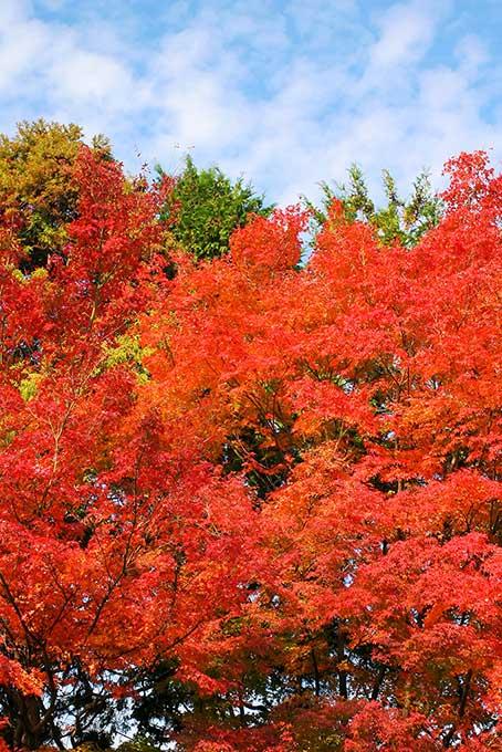 紅葉する木と林
