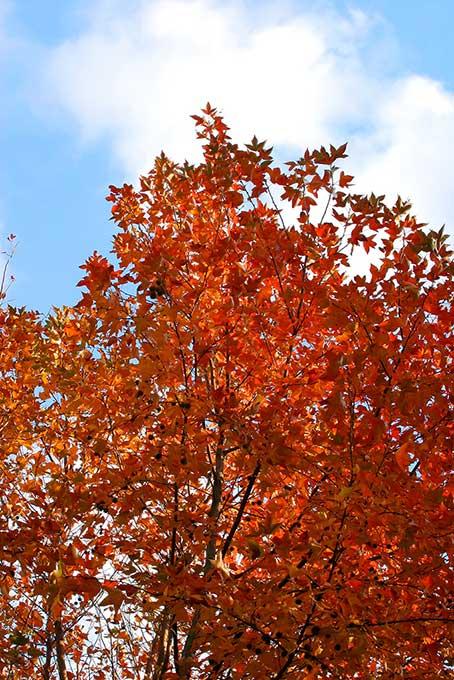 紅葉する木と林(紅葉 木のフリー画像)