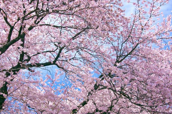桜が咲く美しい日本の春