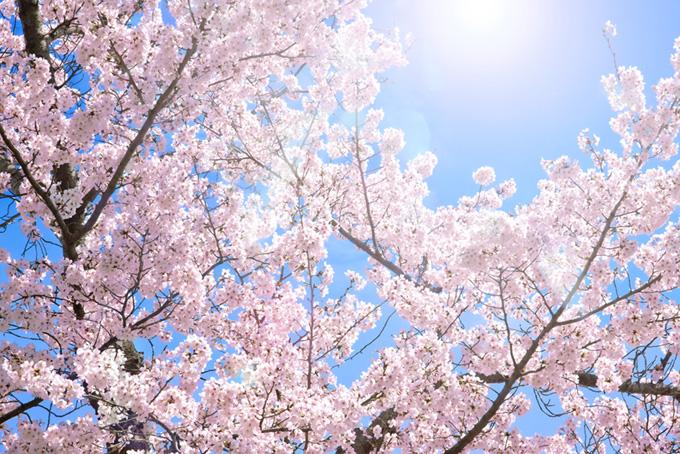 桜 撮影画像 さくら 背景 青空 満開 ピンク 陽射し 太陽 光 (桜 フリーの画像)