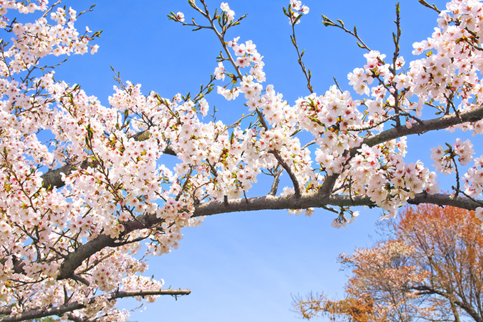 花咲く桜の枝が空を渡る