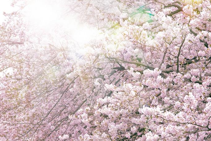 満開の桜と眩い太陽の光
