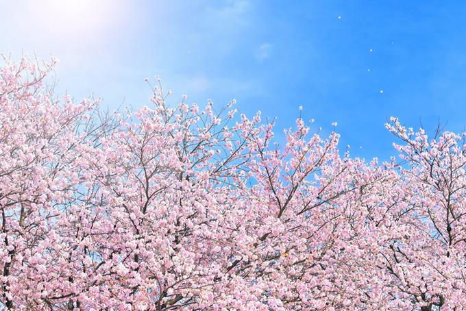 桜 素材 さくら 背景 花 満開 散る ピンク 青空 太陽 綺麗 (桜 フリーの画像)