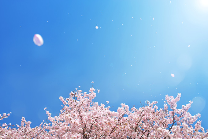 春の青空に舞い散る桜吹雪