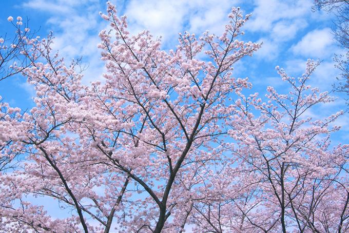 桜 壁紙 サクラ 春 背景写真 木 枝 花 八分咲き 青空 白い雲 (桜 フリーの画像)