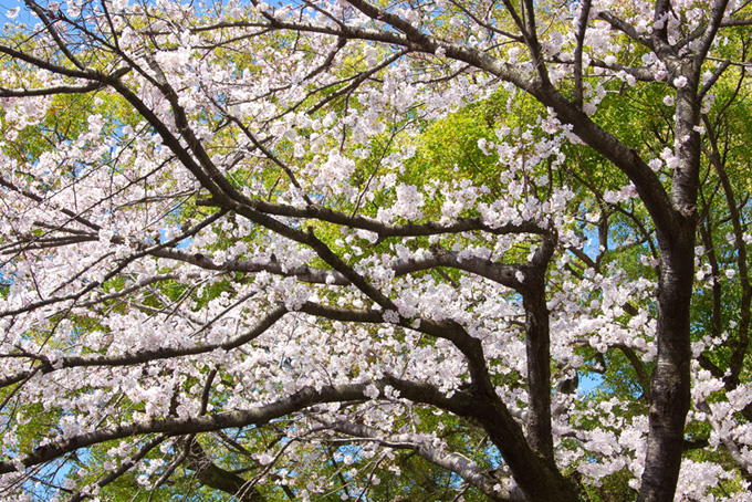 桜 風景 さくら 背景画像 和風 春 咲き始め 新緑 木 葉っぱ (桜 フリーの画像)