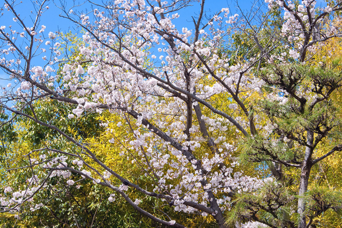 桜 撮影画像 サクラ 背景写真 風景 空 花 咲き始め 緑 春山 (桜 フリーの画像)