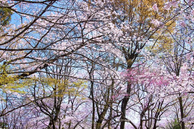 沢山の枝に色がつき始める春の背景(桜 背景の画像)