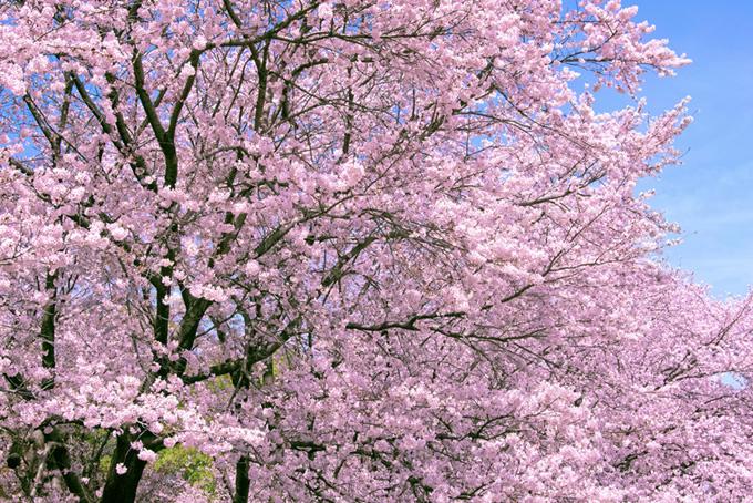ピンクの花咲く満開の桜