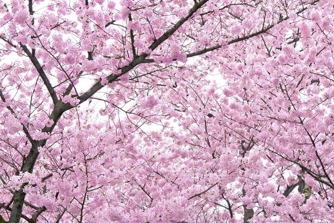 満開のピンクの桜の木