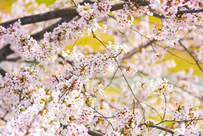 ソメイヨシノの花と黄色の背景