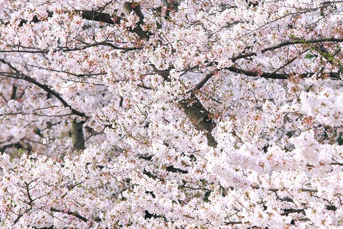 無数の花と蕾をつける桜の枝