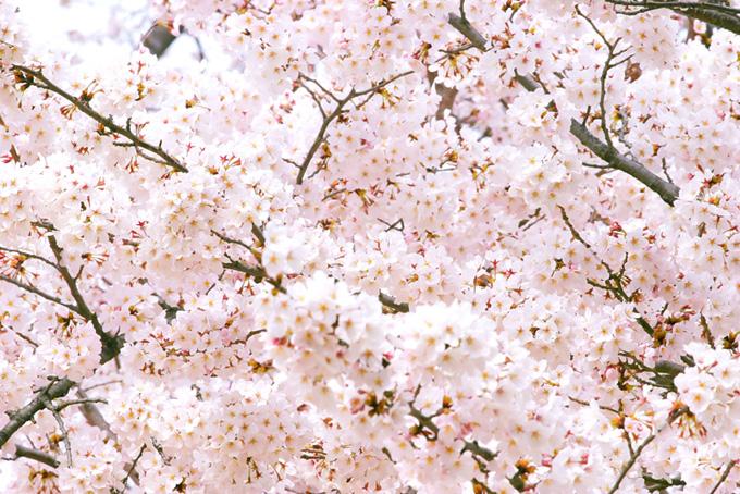 桜満開の春の風景(桜 背景の画像)