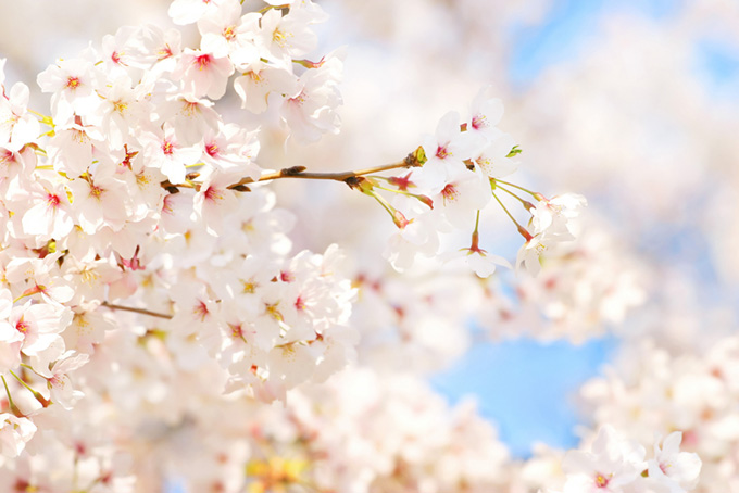白い桜の花に青空が溶け込む