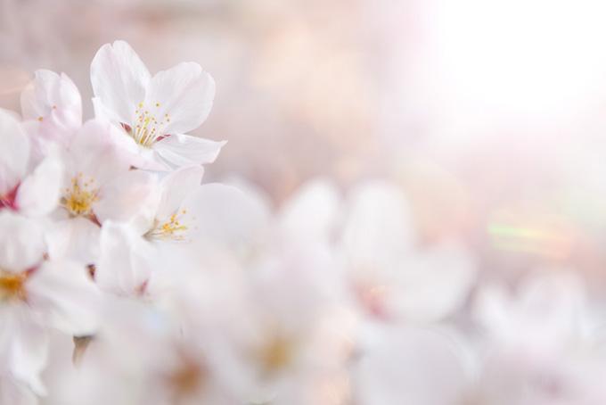 桜の花びらを照らす春の太陽