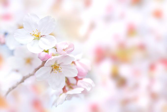 白い桜の花とピンクのつぼみ