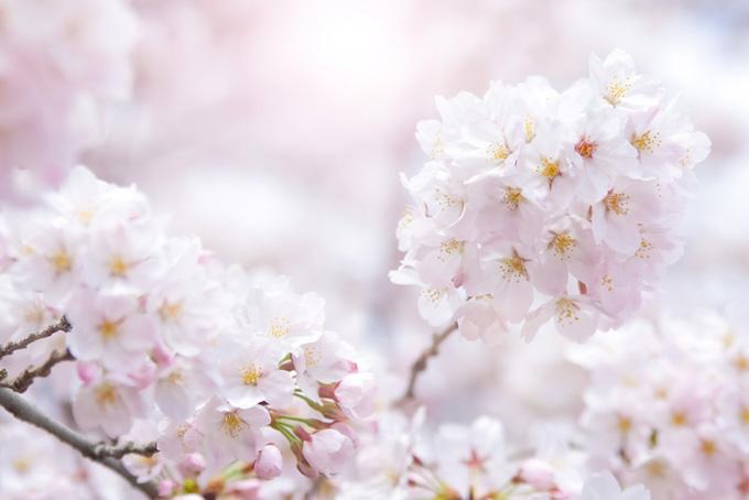 満開の桜の花と春の陽射し