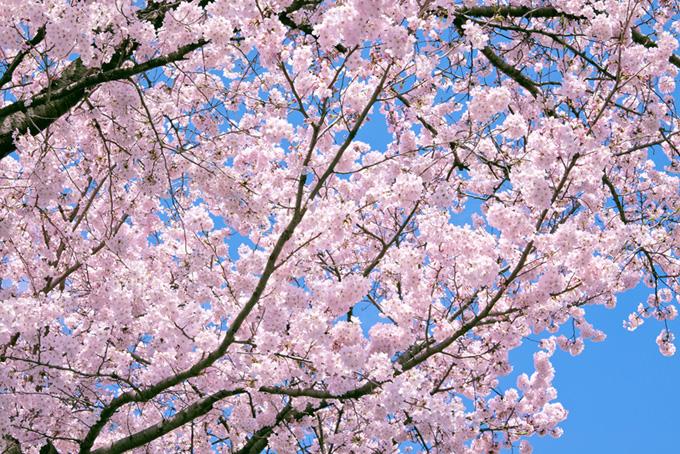 桜 バックグラウンド サクラ 背景 木 花 満開 ピンク 綺麗 青空 (桜 フリーの画像)