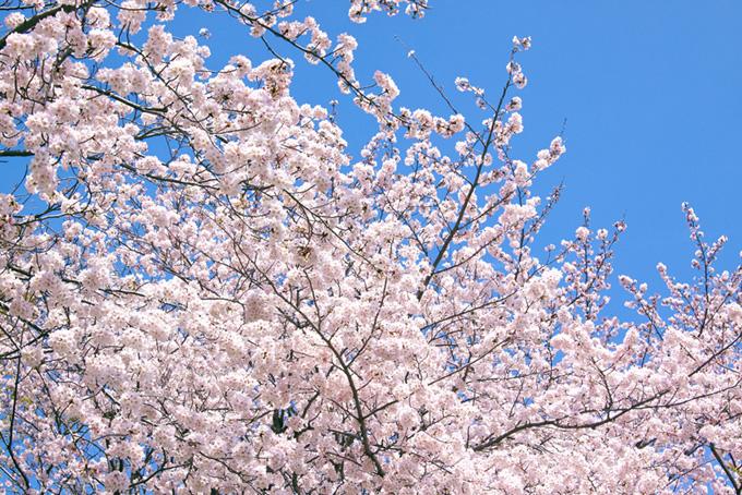 桜 イメージ サクラ 背景 花びら 画像 薄いピンク 晴れた空 春 (桜 フリーの画像)