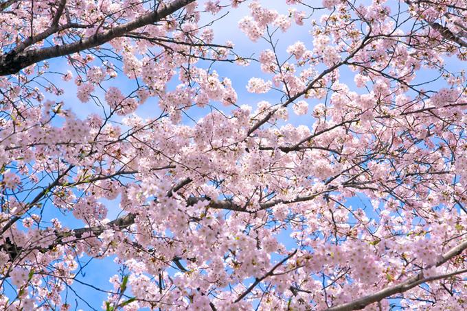 桜の花咲く背景