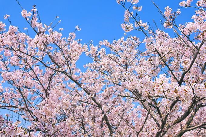 綺麗な青空と桜の木