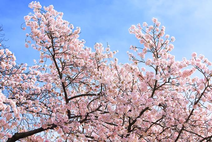 桜の花を沢山付けた枝
