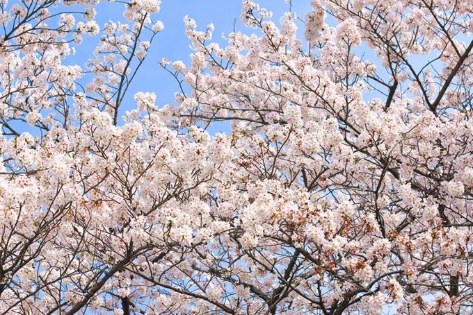 白い桜の花の木