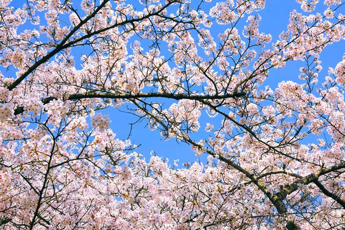 桜の木と空