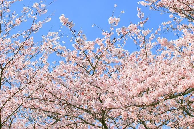 薄い紅色の桜の花