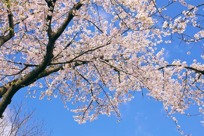 青空とさくらの木