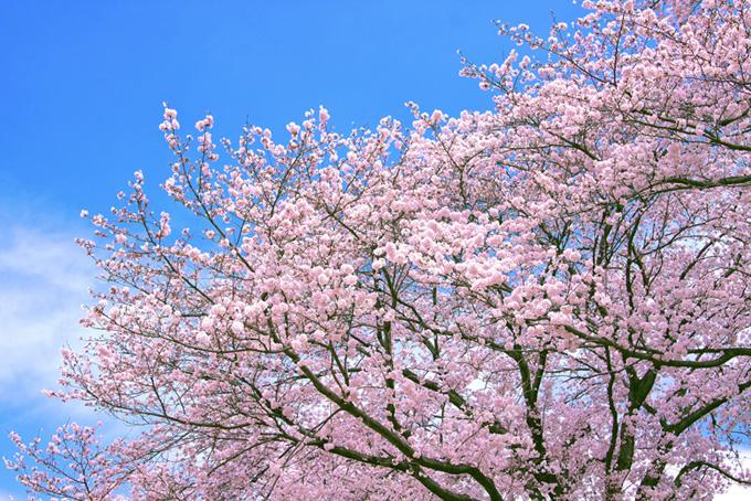 青空とピンクの桜