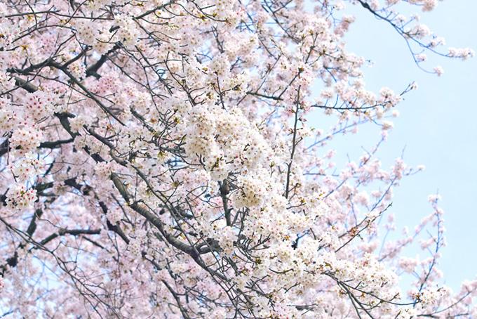 白い桜の花と白い空