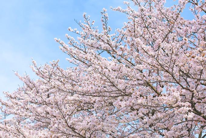 春の霞と桜の木