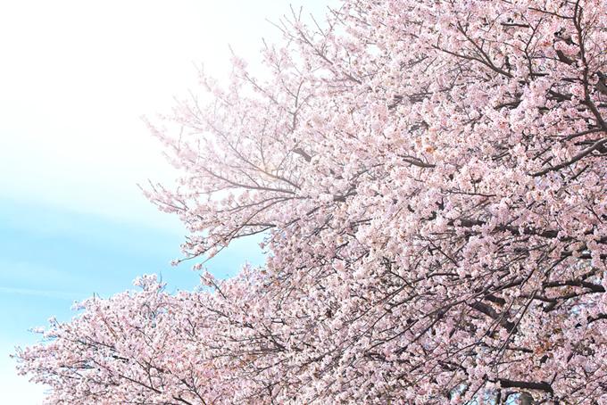 桜と青空(桜 雲の画像)