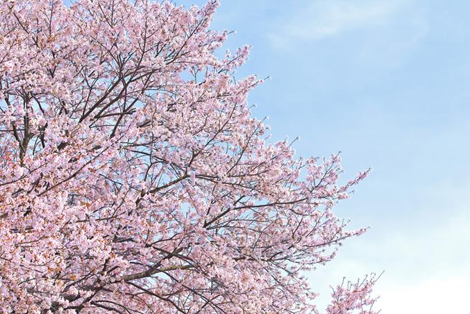 桜と霞んだ青空(桜 雲の画像)