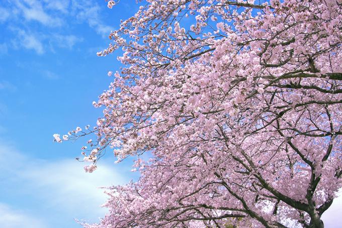 ピンクの桜と綺麗な青空(桜 雲の画像)