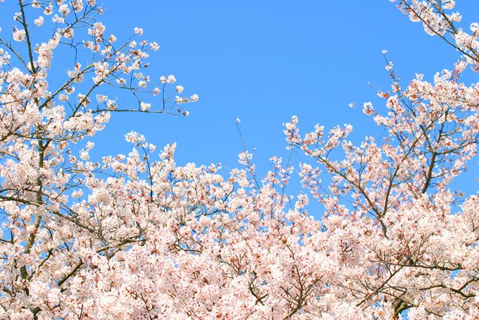 ソメイヨシノの花と青空(桜 綺麗の画像)
