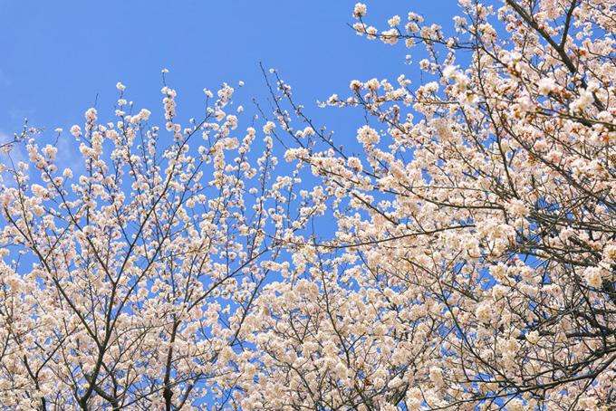 白い花とつぼみの桜の枝(桜 綺麗の画像)