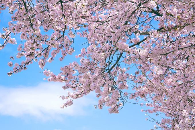 桜と青空の画像