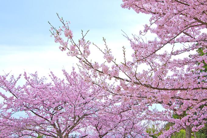 桜と青空(桜 ピンク)