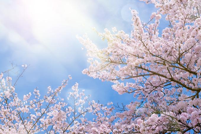 キラキラと輝く光と綺麗な桜(桜 綺麗の画像)